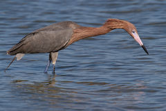 Reddish Egret (Egretta rufescens) Stock Photography