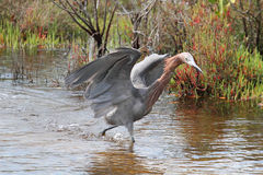 Reddish Egret (Egretta rufescens). Hunting in the Gulf of Mexico royalty free stock photography