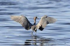 Reddish egret,  egretta rufescens Royalty Free Stock Images