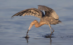 Reddish egret (Egretta rufescens). This beautiful bird was nearly hunted to extinction due to demand for its red feathers for use in fashion. Fortunately their royalty free stock image