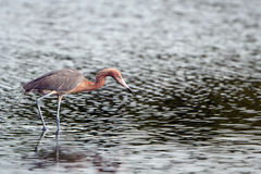 Reddish Egret, Egretta rufescens Royalty Free Stock Photo