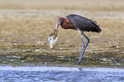 Reddish egret (Egretta rufescens) eating a morning catch – a flounder. Royalty Free Stock Photography
