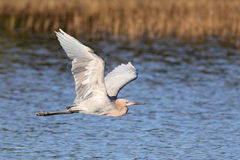The reddish egret, Egretta rufescens. In flight royalty free stock photography