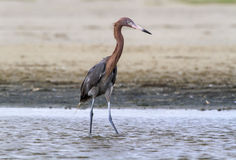 Reddish egret (Egretta rufescens). Reddish egret (Egretta rufescens), Galveston, Texas, USA royalty free stock photo
