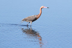 Reddish Egret (Egretta rufescens). Hunting in the Florida Everglades royalty free stock photos