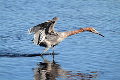 Reddish Egret Egretta rufescens. Hunting in the Florida Everglades stock photo
