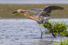 Reddish egret (Egretta rufescens) hunting in shallow water. Royalty Free Stock Image