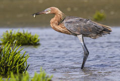 Reddish egret (Egretta rufescens) hunting in shallow water. Stock Photos