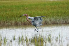 Reddish Egret (egretta rufescens) Stock Photo