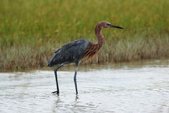 Reddish Egret (egretta rufescens) Royalty Free Stock Images