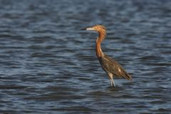 Reddish Egret (Egretta rufescens rufescens) Royalty Free Stock Photo