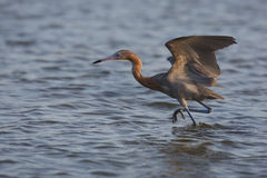 Reddish Egret (Egretta rufescens rufescens). Foraging in shallow water with wings open royalty free stock photos