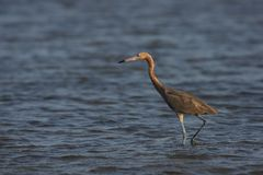 Reddish Egret (Egretta rufescens rufescens) Stock Photo