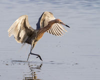 Reddish egret (Egretta rufescens) running in shallow water Royalty Free Stock Images