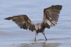 Reddish Egret stalking a fish - Gulf of Mexico, Florida. Reddish Egret Egretta rufescens stalking a fish - Gulf of Mexico, Florida Royalty Free Stock Photos