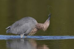 Reddish Egret subduing a small fish - Pinellas County, Florida royalty free stock images