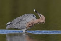Reddish Egret subduing a small fish - Pinellas County, Florida royalty free stock image