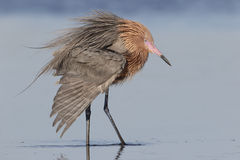 Reddish Egret Extending a Wing - Florida stock images