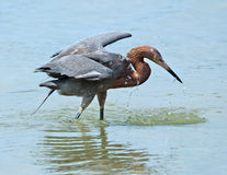 Reddish egret with fish in bill, Fort De Soto state park, Florid Royalty Free Stock Image
