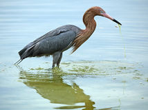 Reddish egret with a fish in its bill, Florida. Stock Images