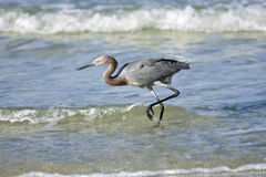 A reddish egret fishes the surf. For a good meal Royalty Free Stock Images
