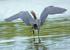Reddish egret fishing at Ft. Desoto State Park, Florida. Royalty Free Stock Photo
