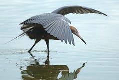 Reddish egret fishing. Stock Image