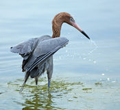 Reddish egret fishing in the Gulf of Mexico, Florida. Royalty Free Stock Image