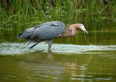 Reddish egret fishing in Gulf waters of St. Petersburg, Florida. Stock Image