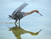 Reddish egret fishing with its wings raised and neck stretched. Stock Image