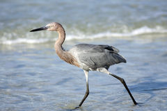 Reddish Egret fishing in the surf. A Reddish Egret patrolling the surf line for food Stock Photo
