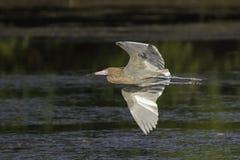 Reddish Egret in Flight. In a mangrove at Ding Darling Wildlife Refuge on Sanibel Island Florida royalty free stock photography