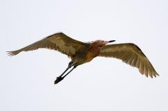 Reddish Egret. Flying in Fort Myers, Florida Stock Photo