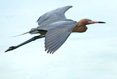 Reddish egret flying over the Gulf of Mexico, Florida. Stock Photo