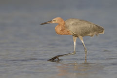 Reddish Egret foraging in a Florida tidal pool royalty free stock images