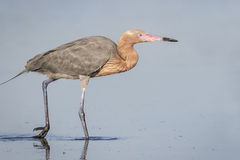 Reddish Egret Foraging in a Shallow Lagoon - Florida Stock Images