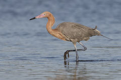 Reddish Egret Foraging in a Shallow Tidal Lagoon - Florida Royalty Free Stock Photos
