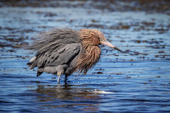 Reddish Egret at Fort De Soto State Park Royalty Free Stock Photography