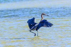 Reddish Egret On The Hunt. This image of a Reddish Egret hunting for fish was captured at the Fort De Soto State Park near Tampa, Florida.  The photograph was Stock Photos