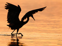 Reddish Egret Hunting. This is a silhouette of a reddish egret hunting for food in the early morning light Royalty Free Stock Photos