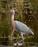 Reddish Egret Royalty Free Stock Photos