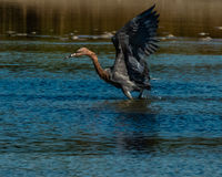 Reddish Egret hunting in salt tidal pool Royalty Free Stock Photo