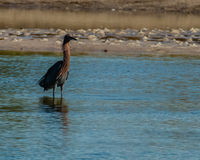Reddish Egret hunting in salt tidal pool Royalty Free Stock Photos