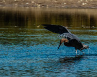 Reddish Egret hunting in salt tidal pool Stock Image