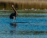 Reddish Egret hunting in salt tidal pool Royalty Free Stock Photography