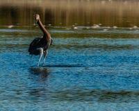 Reddish Egret hunting in salt tidal pool Royalty Free Stock Photography
