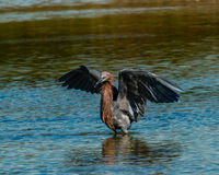 Reddish Egret hunting in salt tidal pool Royalty Free Stock Images