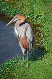 Reddish Egret Immature (Egretta rufescens) Royalty Free Stock Photos