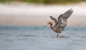 Free Reddish Egret In Florida Stock Photo - 152791210