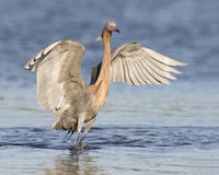 Reddish Egret with its Wings Spread as it Stalks a Fish Stock Images